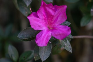 41 - Rhododendron simsii