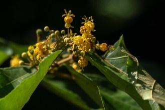 49 - Guazuma ulmifolia