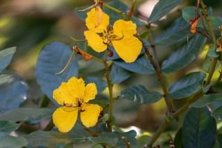 55 - Senna appendiculata