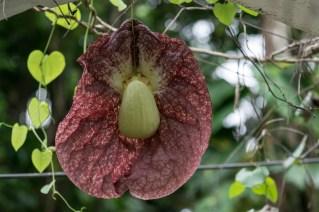 57 - Aristolochia gigantea