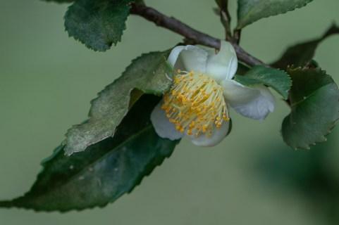 61 - Camellia sinensis