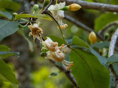 12 - Ceiba jasminodora