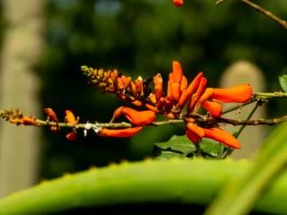 16 - Erythrina senegalensis
