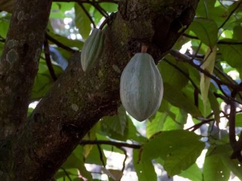 59 - Theobroma cacao