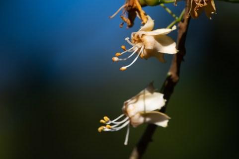 10 - Ceiba jasminodora