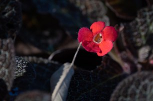 12 - Episcia cupreata