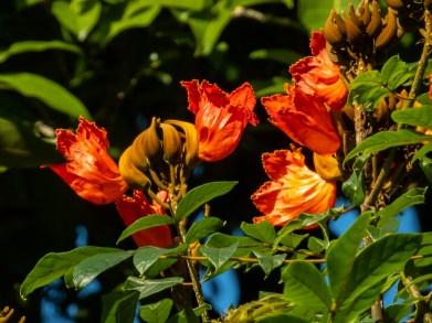 39 - Spathodea campanulata