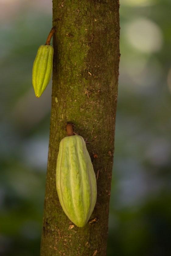 56 - Theobroma cacao