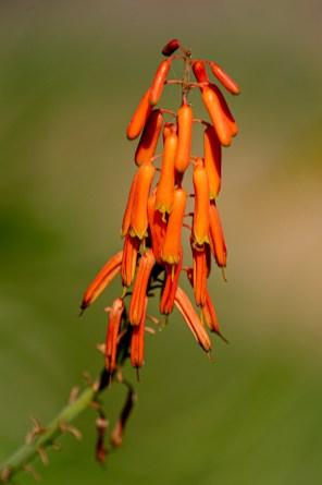 15 - Aloe ciliaris