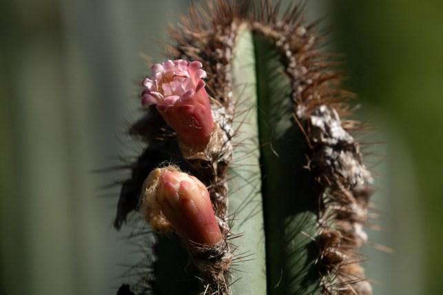 15 - Pilosocereus floccosus