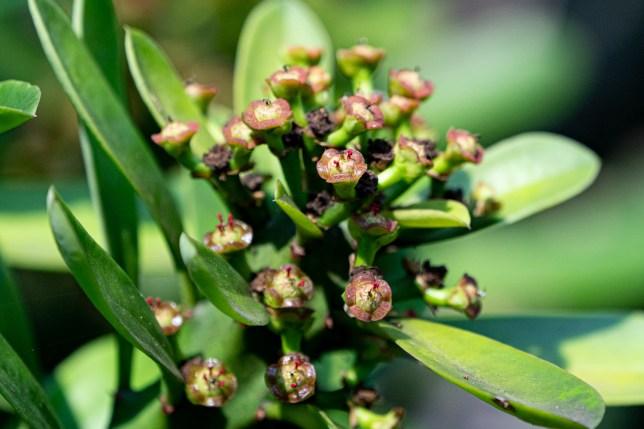 21 - Euphorbia sp