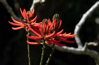 43 - Erythrina speciosa