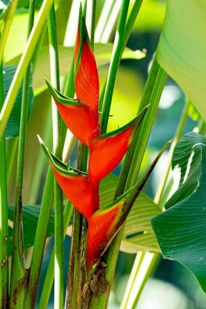 50 - Heliconia bihai