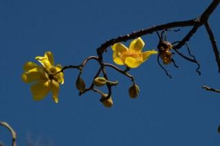 55 - Cochlospermum vitifolium