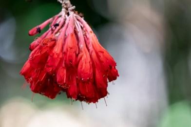 72 - Brownea longipedicellata