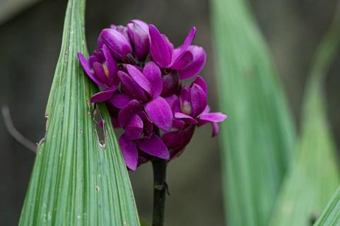 09 - Spathoglottis unguiculata