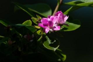 15 - Pereskia grandifolia