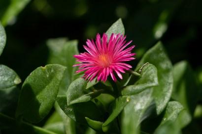 22 - Mesembryantemum cordifolium