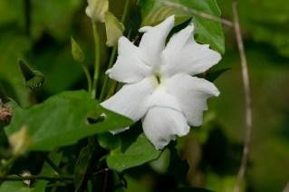 45 - Thumbergia fragans