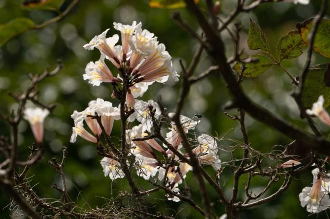 56 - Tabebuia roseoalba