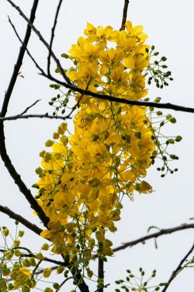 60 - Cassia ferruginea