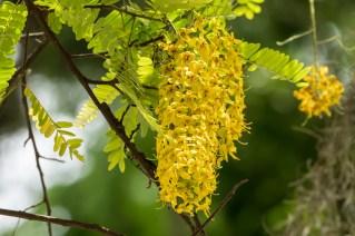 80 - Cassia ferruginea