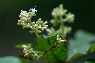 81 - Psychotria carthagenensis
