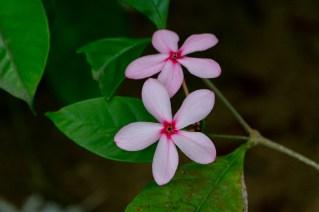 84 - Kopsia fruticosa