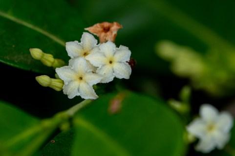 86 - Mascarenhasia arborescens