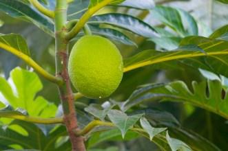 05 - Artocarpus altilis