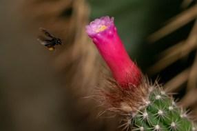 13 - Arrojadoa rhodantha
