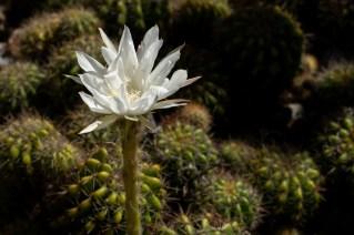 16 - Echinopsis calochlora