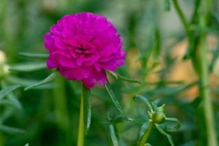 21 - Portulaca grandiflora