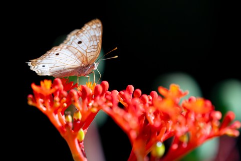 23 - Jatropha podagrica