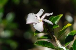 26 - Pachypodium saundersii