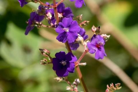 29 - Pleroma heteromallum
