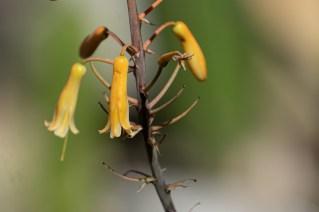 30 - Aloe striata