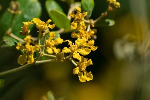 45 - Banisteriopsis laevifolia