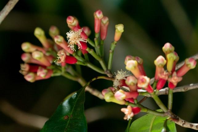 46 - Sysygium aromaticum