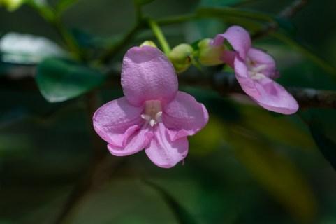48 - Ravenia spectabilis