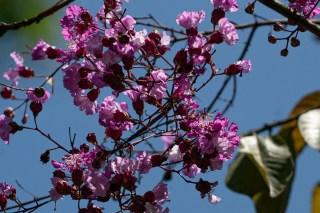 52 - Physocalymma scaberrimum