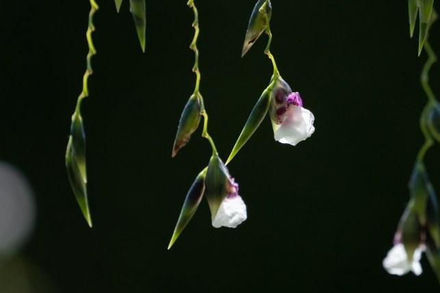 52 - Thalia geniculata