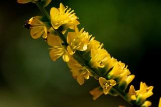 53 - Dyckia brevifolia