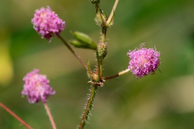 67 - Mimosa pudica -Dormideira