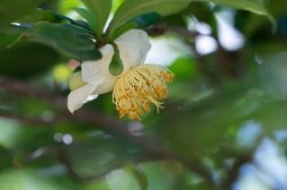 70 - Camellia sinensis