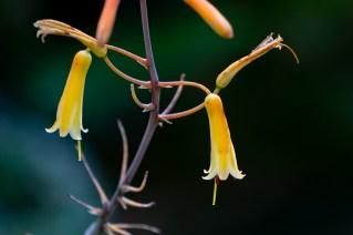 18 - Aloe striata