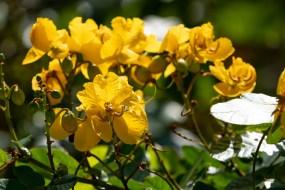 43 - Senna appendiculata