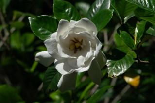 05 Gardenia jasminoides