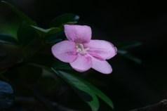 22 Ravenia spectabilis