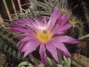 Echinocereus cinerascens